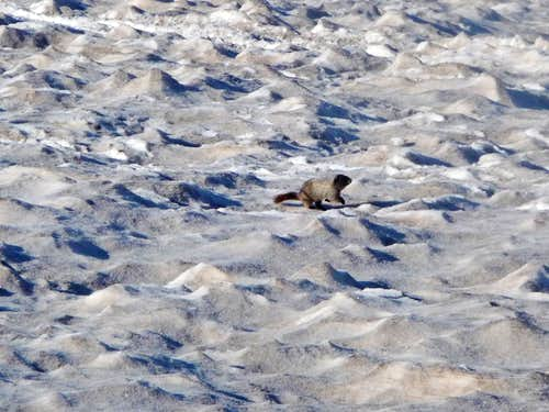 Marmot Running in the Snow