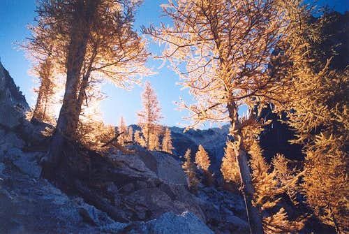 Larches encountered on the...