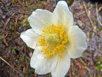 Marsh Marigold on Mount Logan