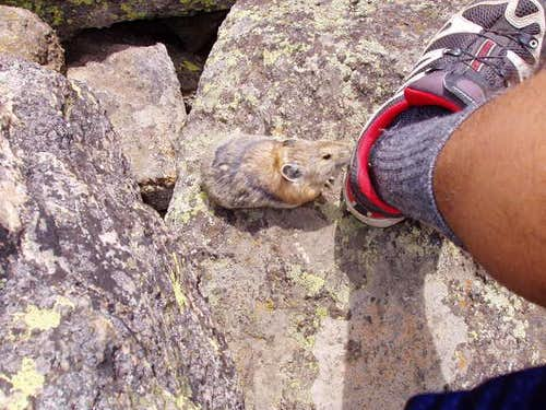 This aggressive pika was...