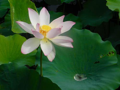 Lotus Flower, Kyoto