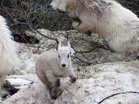 Goats below Sherpa Glacier