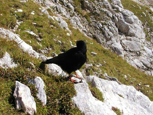 An Alpine Chough are in...
