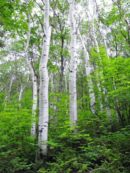 Mill B South Fork aspens