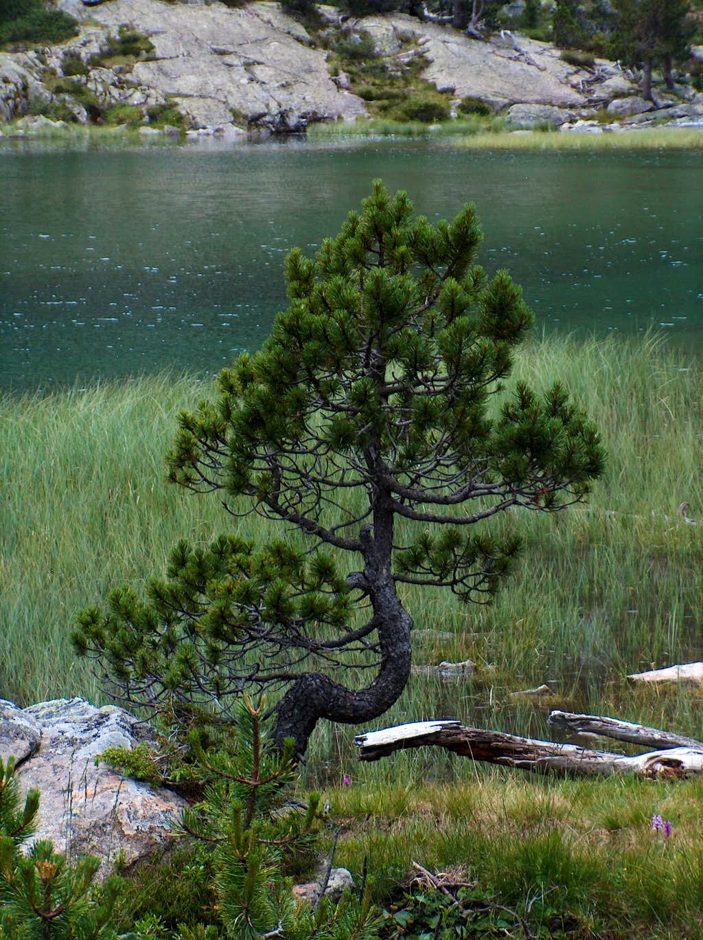 Hooked pine on the shore of Les Laquettes