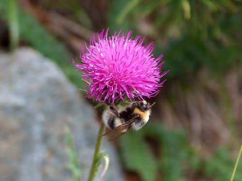 Bee & flower on the shore of Les Laquettes