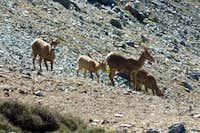 Mt. Baldy Sheep