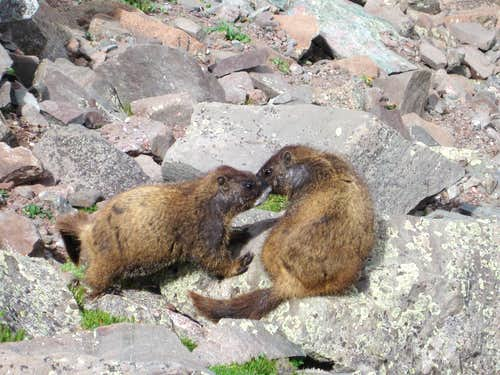 Marmots in Love