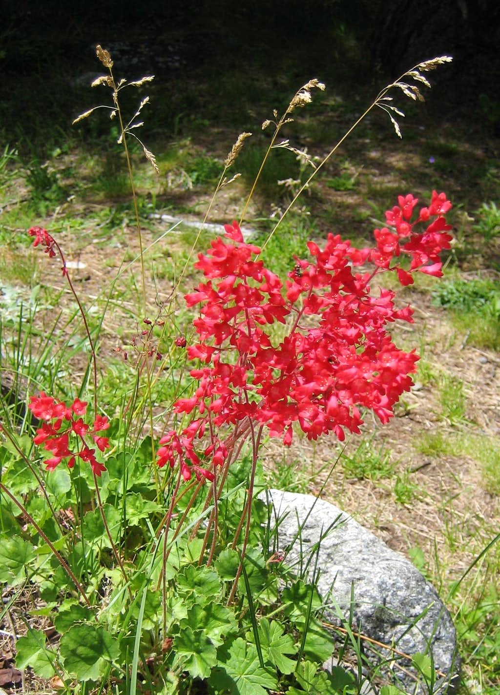 Geranium on the way to the Monzino Hut