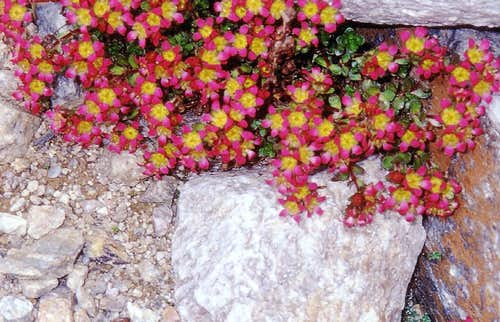 High summits flora in Gran Paradiso National Park