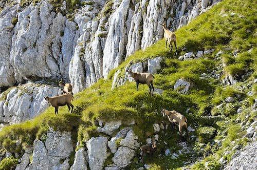 Flock of chamoises
