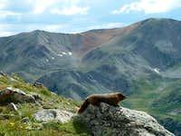 Marmot Envy