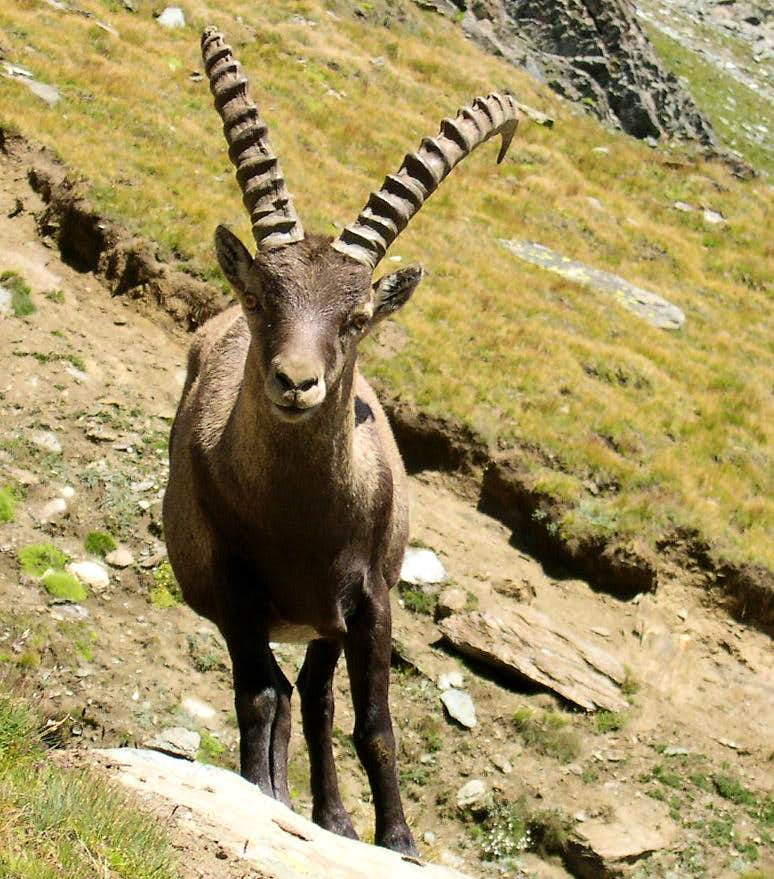 Steinbock (Capra ibex) met  in the Lauson basin, near the trail towards Colle della Rossa