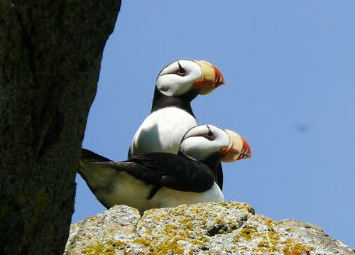 Horned Puffins on Amagat Island