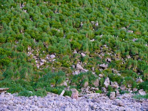 Dozens of Puffins on Amagat