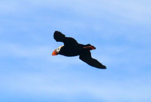 Tufted Puffin, Amagat Island