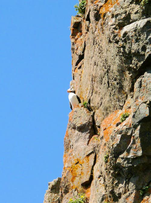 Horned Puffin, Amagat Island