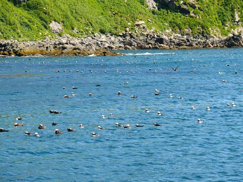 Tufted and Horned Puffins, Amagat Island