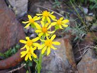 ? Albion Basin Flower
