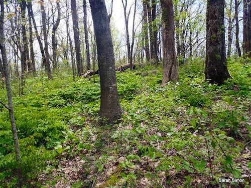Appalachian Summit Hunting: Wolf Laurel Top
