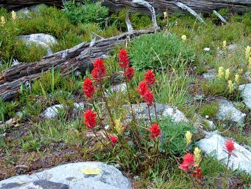 Late July Indian Paintbrush...