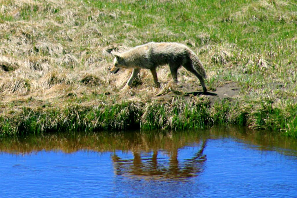 Stalking Coyote Reflection