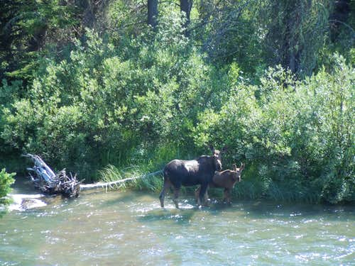 Moose in Swiftcurrent Creek