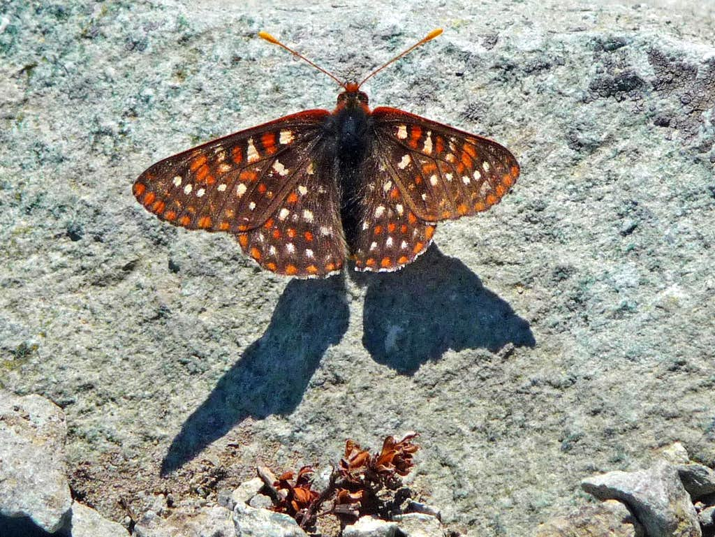 Butterfly on the Summit