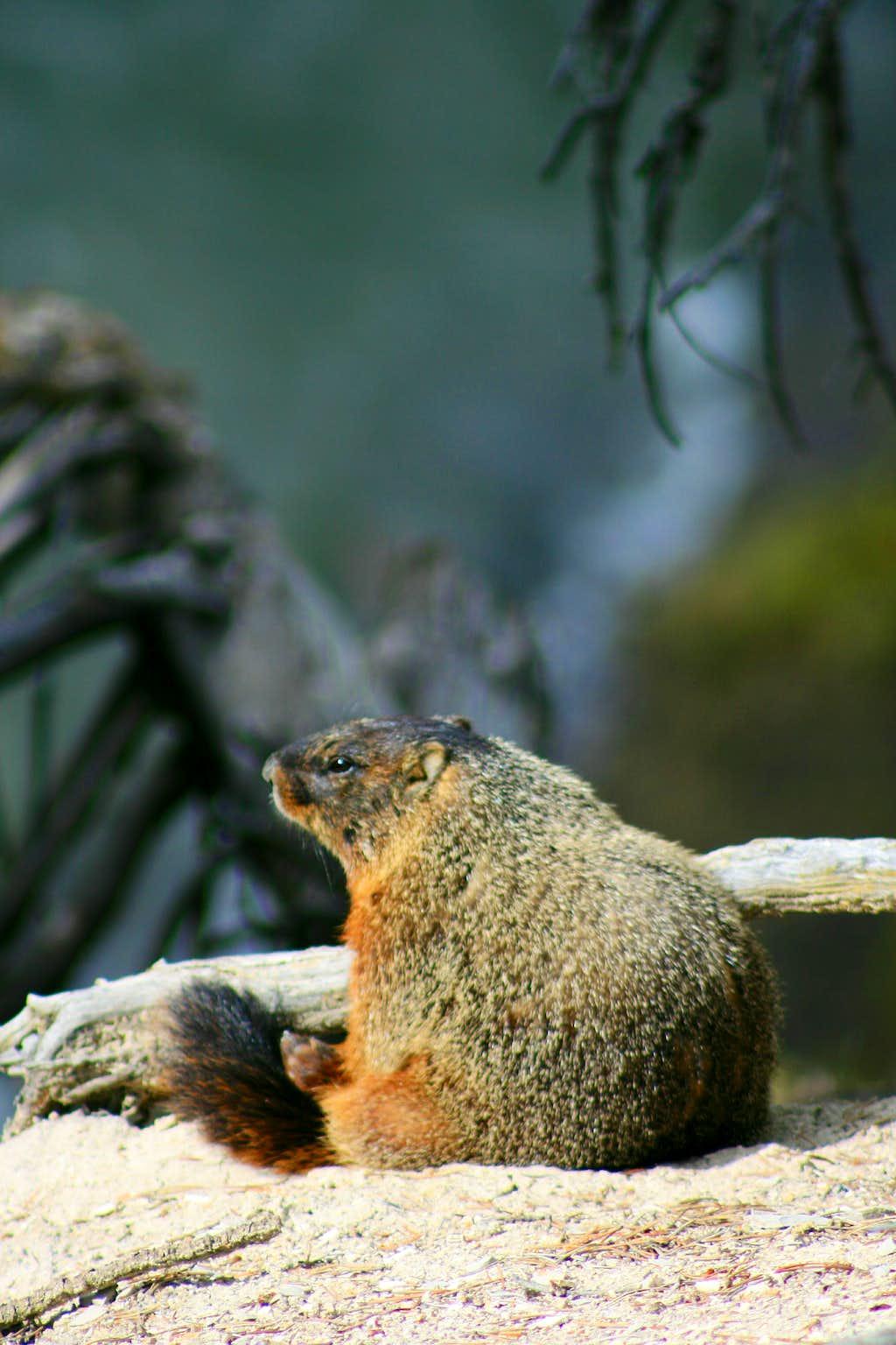 Marmot Tourist