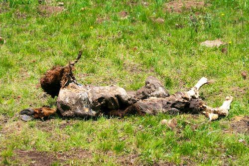 Winterkill Bison Calf