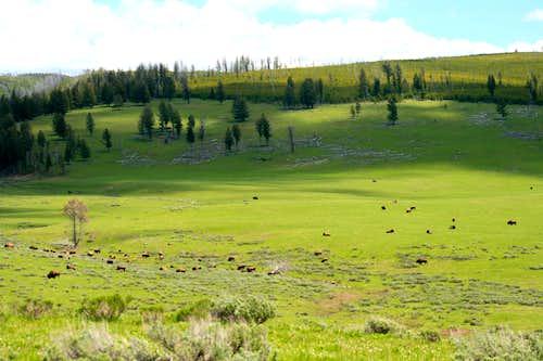 Cougar Creek Bison