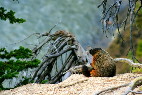 Marmot Philosopher