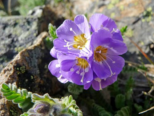 Purple Flower on the Summit