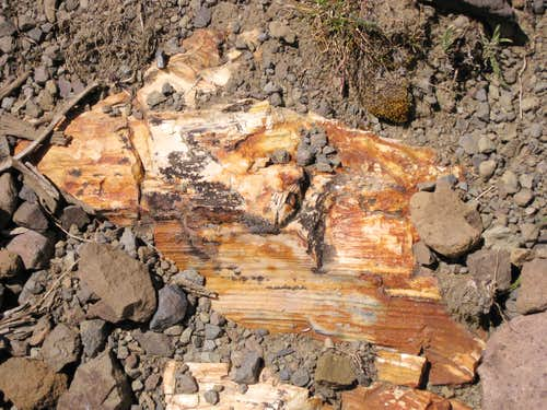 Emerging Petrified Log