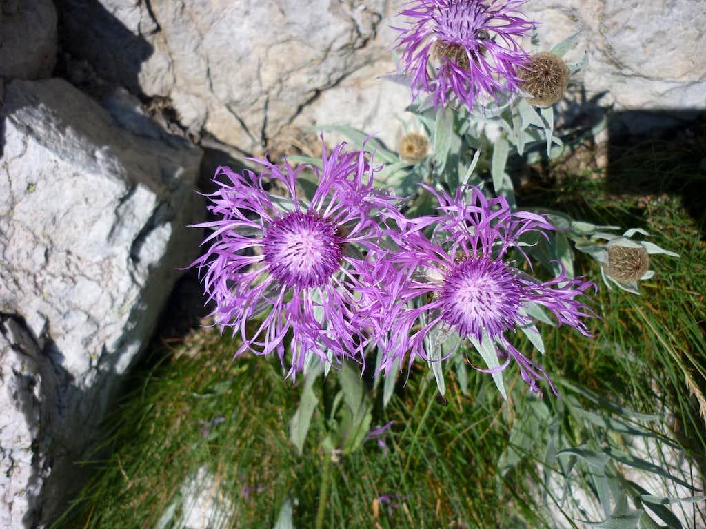 Maritime Alp flora