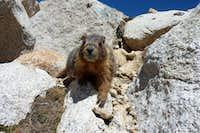 Fat Whitney Marmot