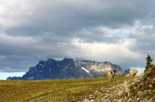 Sheep and Zugspitze at sunset