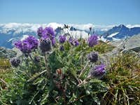 Silky Phacelia on the Summit of Ruth Mountain