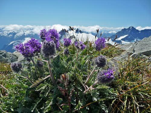 Silky Phacelia on the Summit of Ruth Mountain