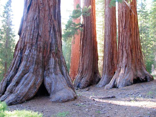 Cluster of giant sequoias
