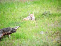 Coyote Relaxes in RMNP