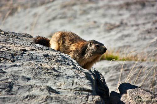 Pyrenean Marmot