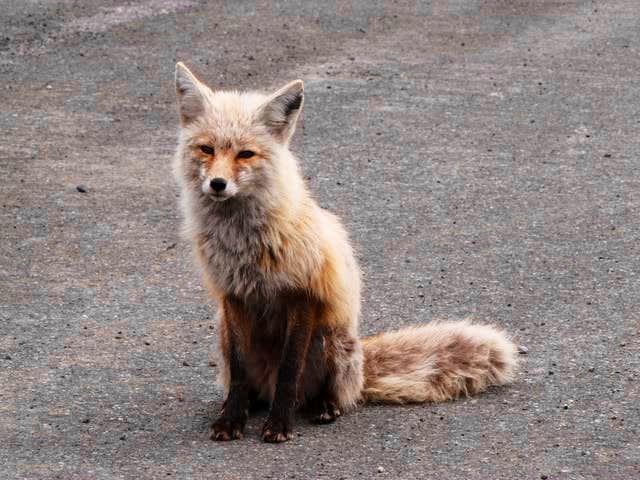Sad Fox