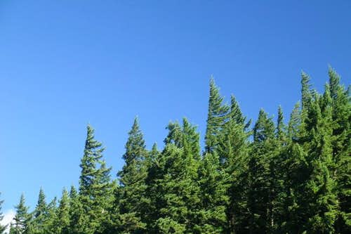 Mature Douglas-fir near the...