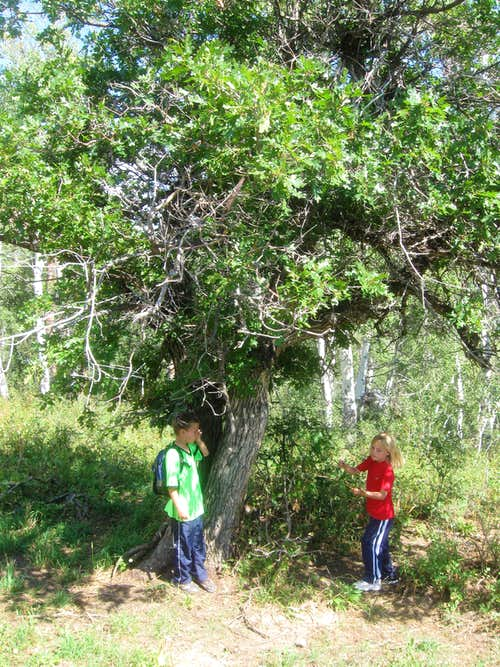 Giant Scrub Oak