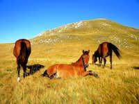 Horses on Zelengora
