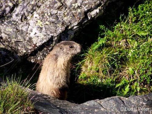 Local marmot celebrity