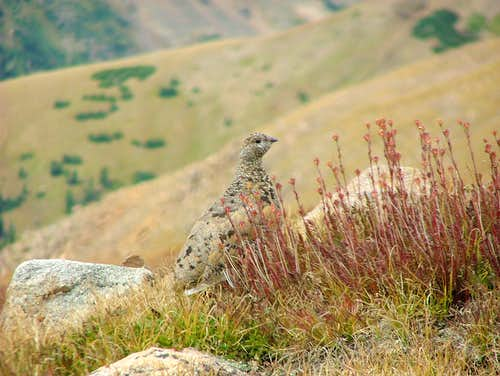 Ptarmigan (Square Top Mountain).