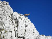 Ibex observing hikers at Dent d\'Oche