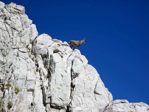 Ibex observing hikers at Dent d'Oche